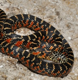 Lampropeltis_getula_brooksi_cb2011_male_G1_ed