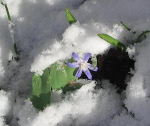Glory_of_the_Snow_in_the_snow