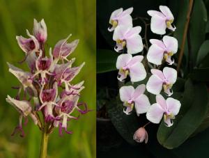 Orchis simia & Phalaenopsis schilleriana