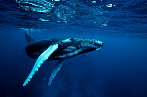 Humpback whale (Megaptera novaengliae) (Picture from Underwater Photography Guide).
