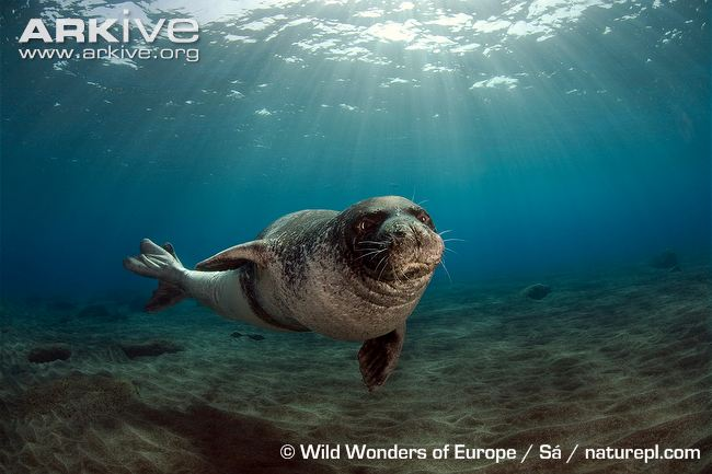 Male-Mediterranean-monk-seal