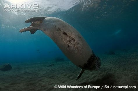 Male individual of Mediterranean Monk Seal (Photo: Sá,