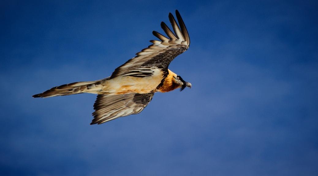 Gypaetus barbatus, trencalos, quebrantahuesos, bearded vulture