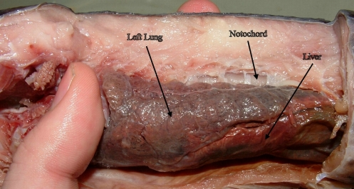 Lungs_of_Protopterus_dolloi