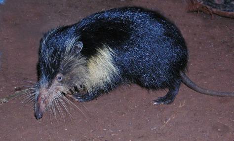 Almiquí, Cuba, Solenodon, cubanus, Cuban giant shrew
