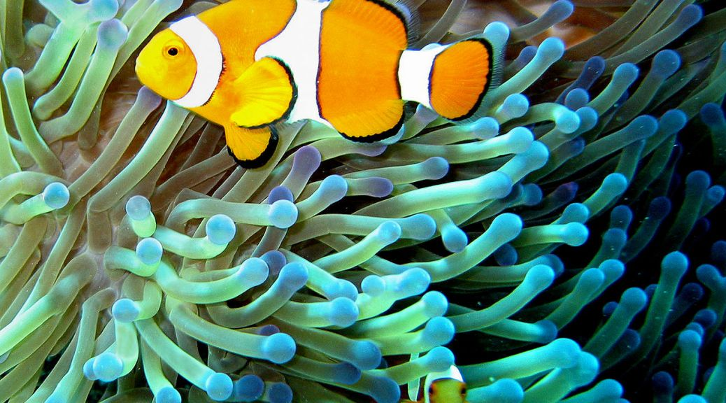 pez payaso, anemona, peix pallasso, clown fish, anemone