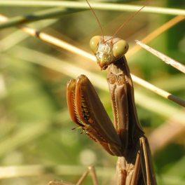 Mantis europea (Mantia religiosa) (Foto de Katja Schulz, CC).