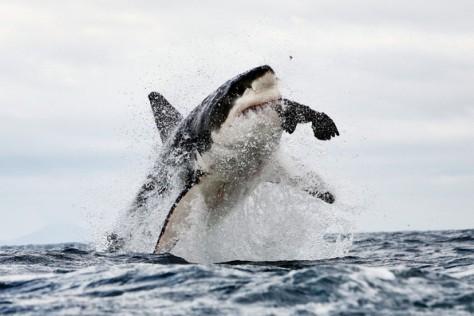 foca, león marino,
