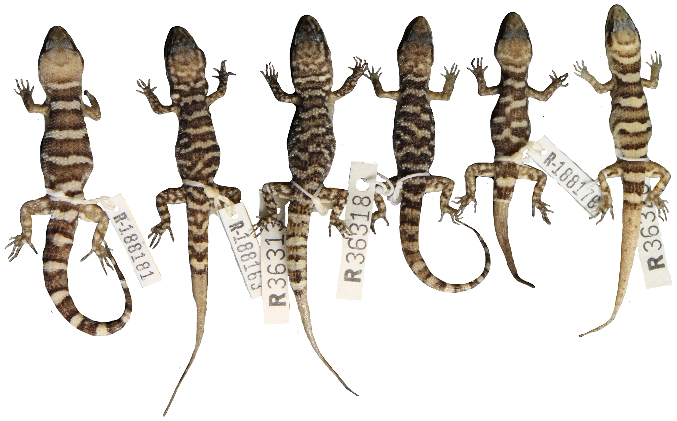Whiptail lizards asexual reproduction advantages