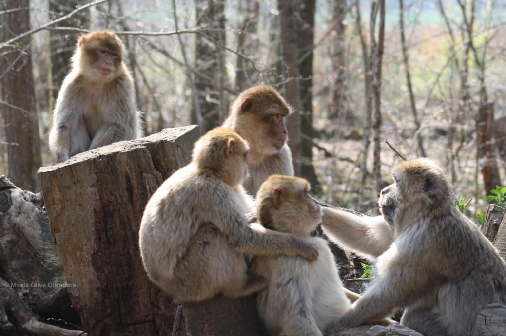 macaco barberia, mireia olivé obradors