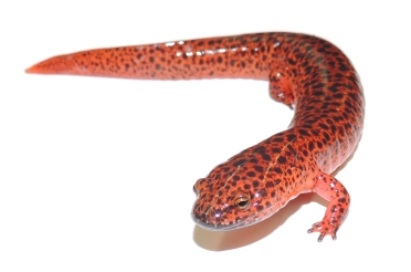 Northern_red_salamander_(Pseudotriton_ruber)