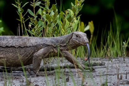 Water_Monitor_Sunderban_National_Park_West_Bengal_India_22.08.2014