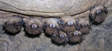 Murciélagos con síndorme de la nariz blanca. Foto: Nancy Heaslip