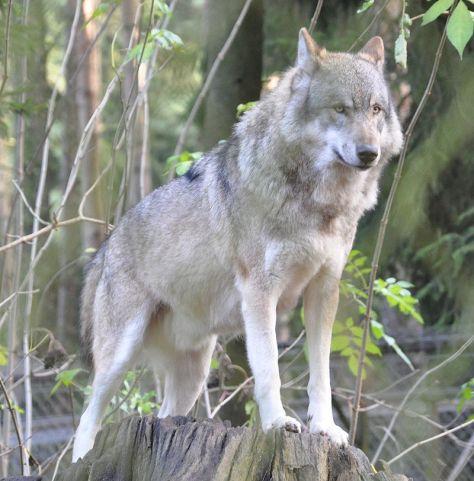 llop europeu