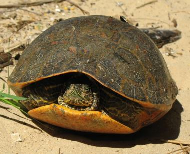 alabama_red-bellied_turtle_us_fws_cropped-min