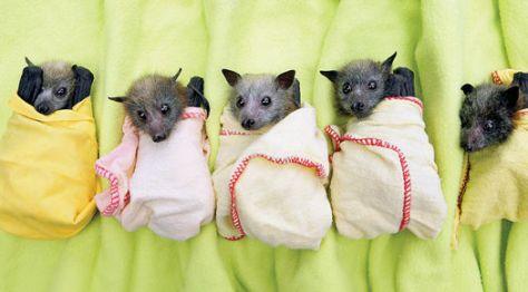 Crías de zorro volador rescatadas por la Australian Bat Clinic después de las inundaciones de 2010. Fuente