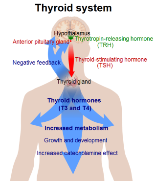 thyroid_system-min
